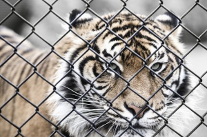 animal, big cat, tiger, wild, cage