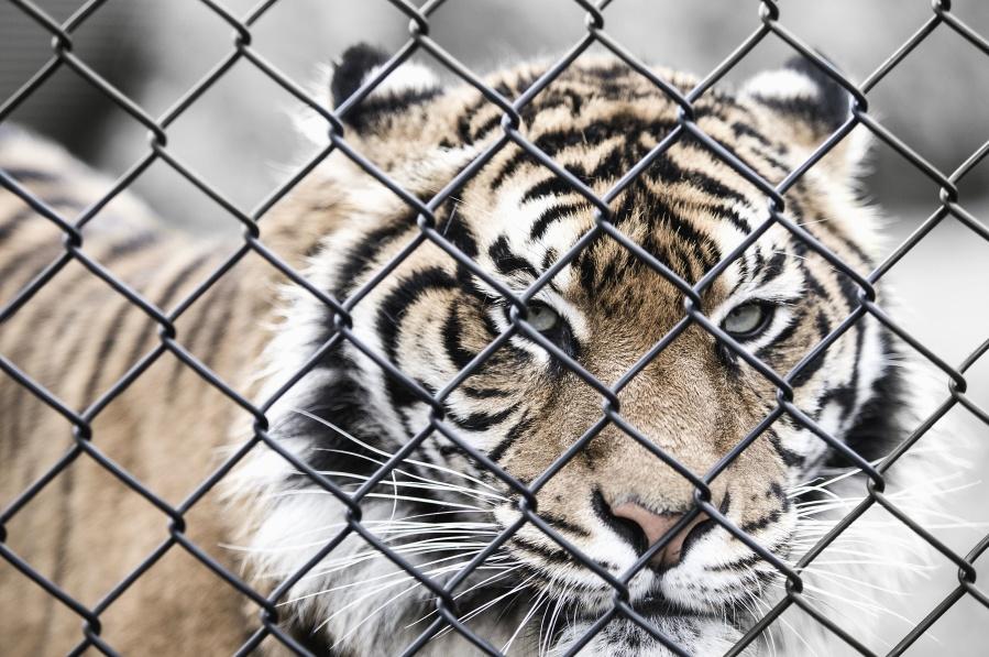 Animal, gato grande, tigre, salvaje, jaula