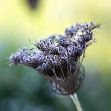 cvijet, cvijet, sjeme, cvijet, prirode, flore
