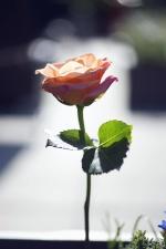 kelopak, romance, mawar, mekar, bunga, bunga