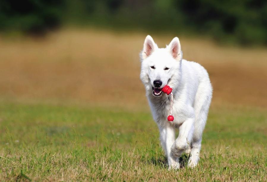động vật, chó, cỏ, lông thú, lĩnh vực