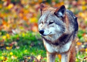 Loup, canin, fourrure, herbe, prédateur, carnivore