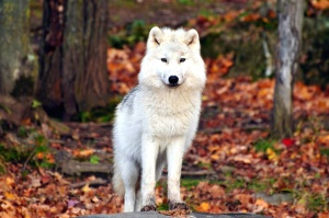 white wolf, animal, predator