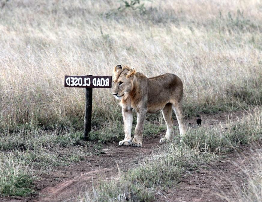 Animal, león, hierba, depredador, camino, carnívoro, gato