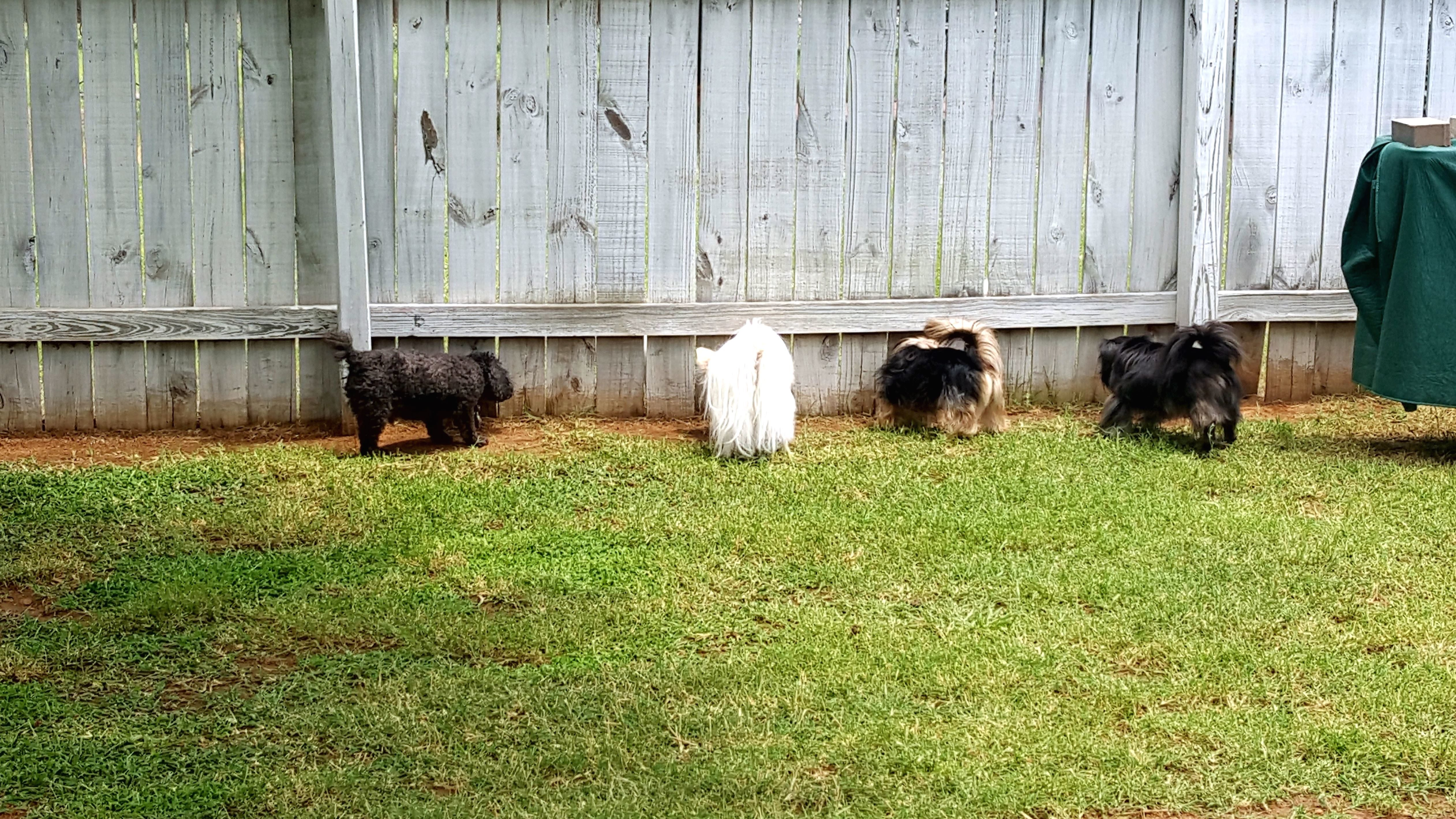 free picture grass fence backyard canine dog dogs lawn pet