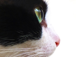 animal, cat, close, domestic cat, eye, fauna, kitten, pet