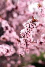 tree, beautiful, bloom, branch, cherry