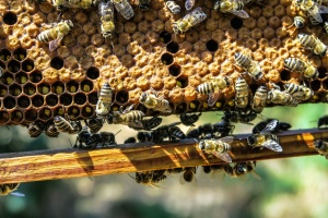 honey, bee, honeycomb, insect, nest, pollination, wax