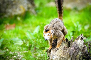 lemur, primate, tree trunk, wild, animal, wildlife