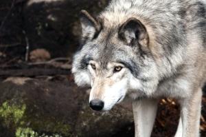 Tier, Wolf, Pelz, Raubtier, Schnauze, Schnurrhaare, wild