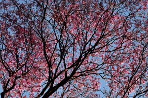 park, spring, tree, cherry, blossom, branches, flora