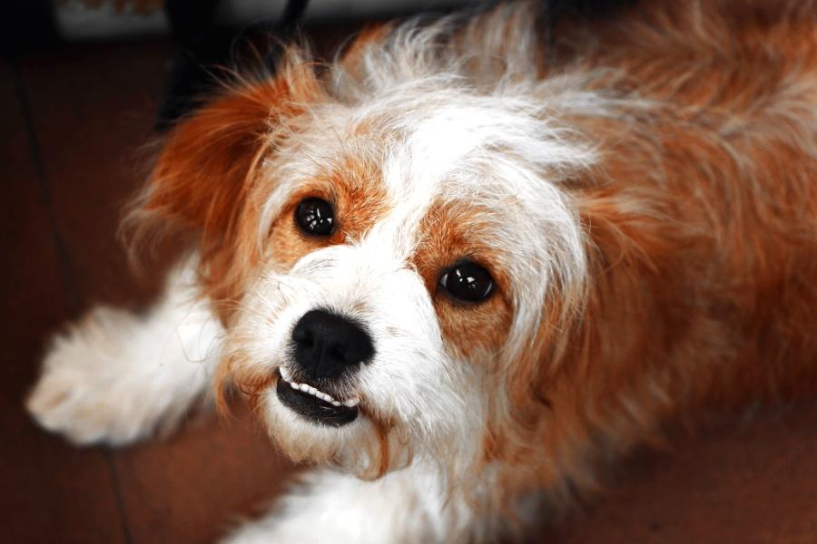 犬、犬、毛皮、ペット、かわいい、目を少し、
