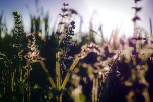 Flora, bunga, lavender, alam, mekar, mekar