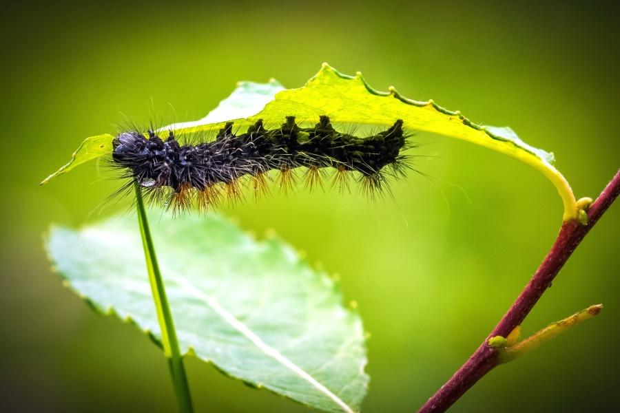 larva, metamorphose, insect, leaves, macro, nature, plant