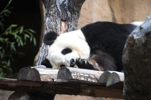 Panda géant, arbre, faune, animal, ours, mignon, panda