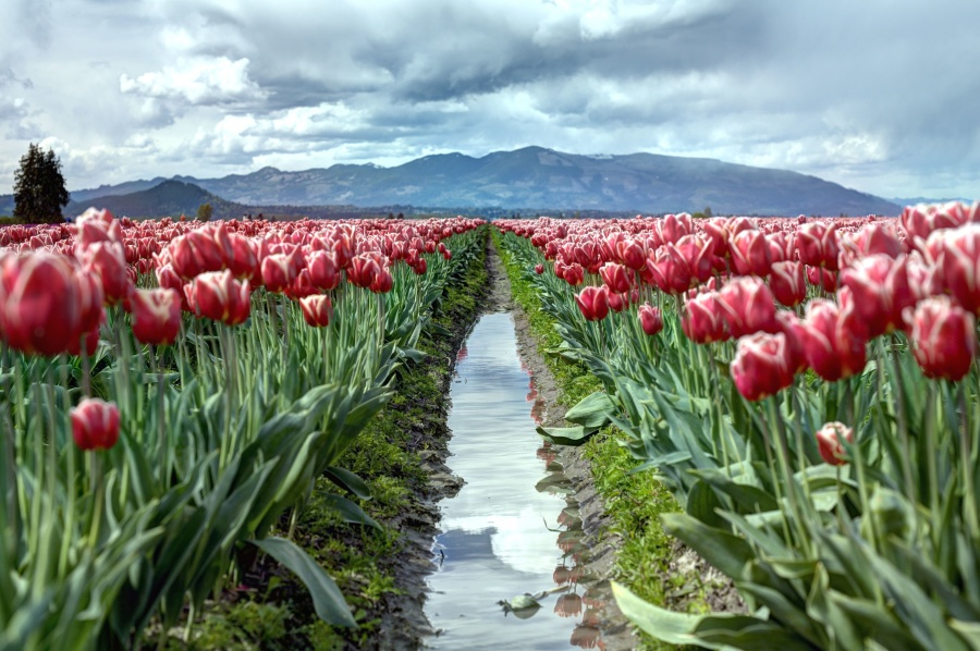 mountain, nature, sky, tulips, bloom, blossom, clouds, flora, flowers