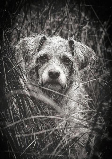 pas, sladak, životinja, ljubimac, portret, štene