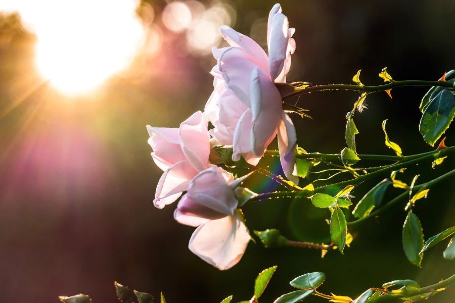 Fleur, feuilles, nature, pétales, rose, fleur, flore, flore