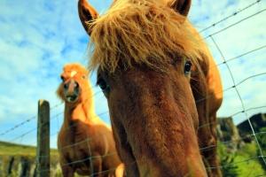 Cabeza, caballos, animales, alambres, granja, cerca, campo, pasto o césped