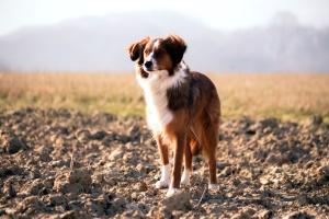 koira, lemmikkieläinten, eläin, koira, pilvinen, taivas