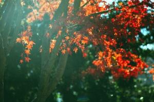 blader, natur, tree, blader, lønn