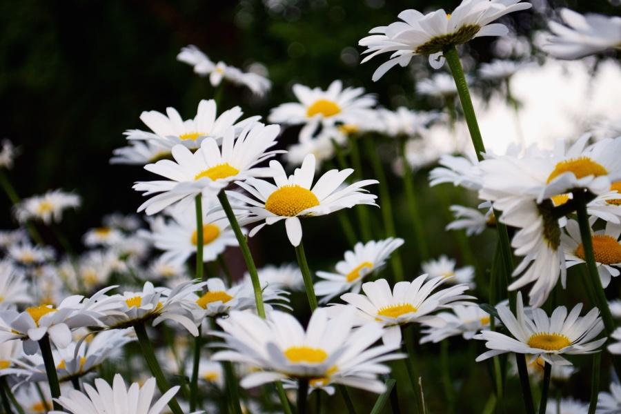 petals, daisies, blossom, field, flora, flower