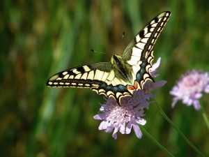 pillangó, pollen, növények, állatok, gyönyörű, virágos, rovar