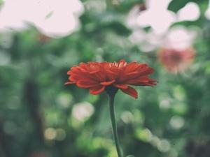 petals, garden, blossom, flora, flower