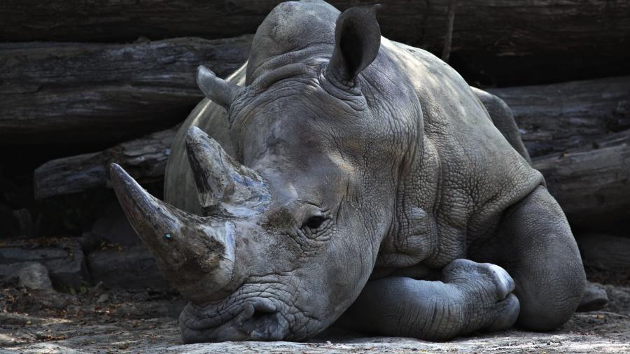 zwierząt, róg nosorożca,
