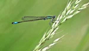 Libelle, gras, insekt, gras