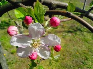 Árbol, primavera, flores, brote, pétalos, pistilo, rama