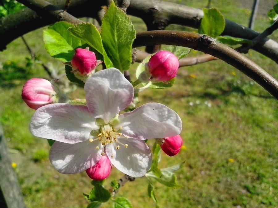 tree, spring, flowers, flower bud, petals, pistil, branch