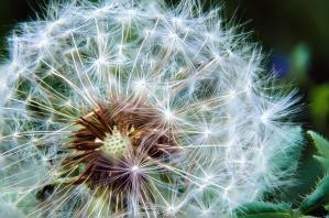 seed, dandelion, blooming, macro, flower, flowers, garden