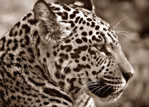 Jaguar, prédateur, carnivore, animal