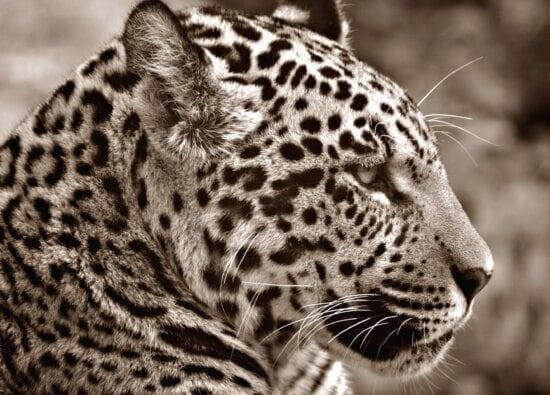 jaguar, predator, carnivore, animal