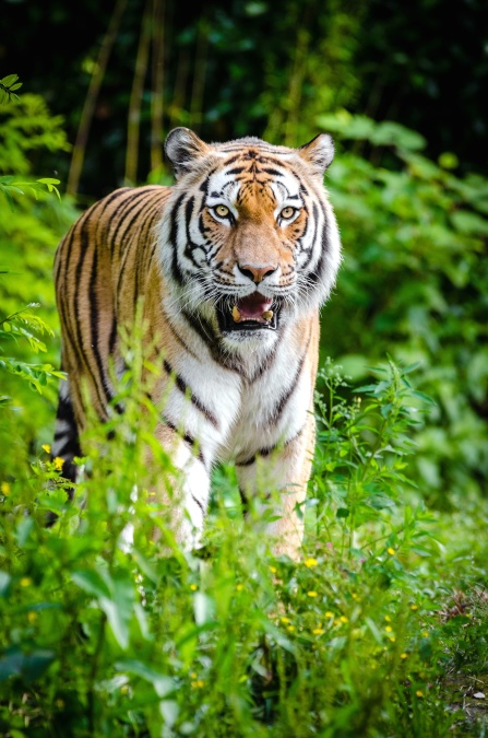 animal, tiger, jungle, nature, plants, predator, carnivore, big cat