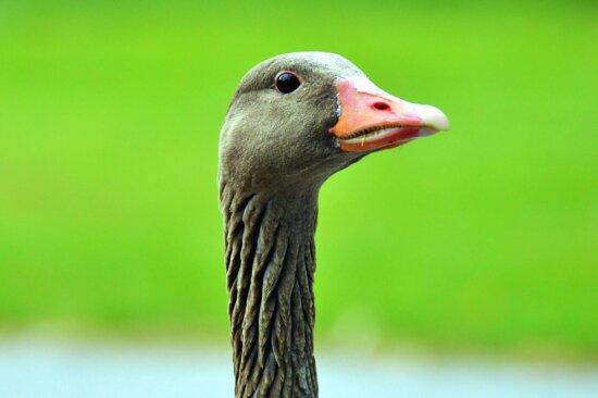 goose, head, bird, wildlife, animal