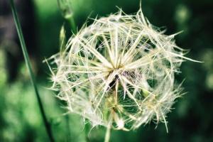 Maslačak, cvijet, makronaredbe, biljka, makronaredbe, cvijet