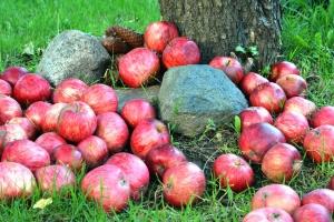 orchard, grass, agriculture, apples, nutrition, organic, red