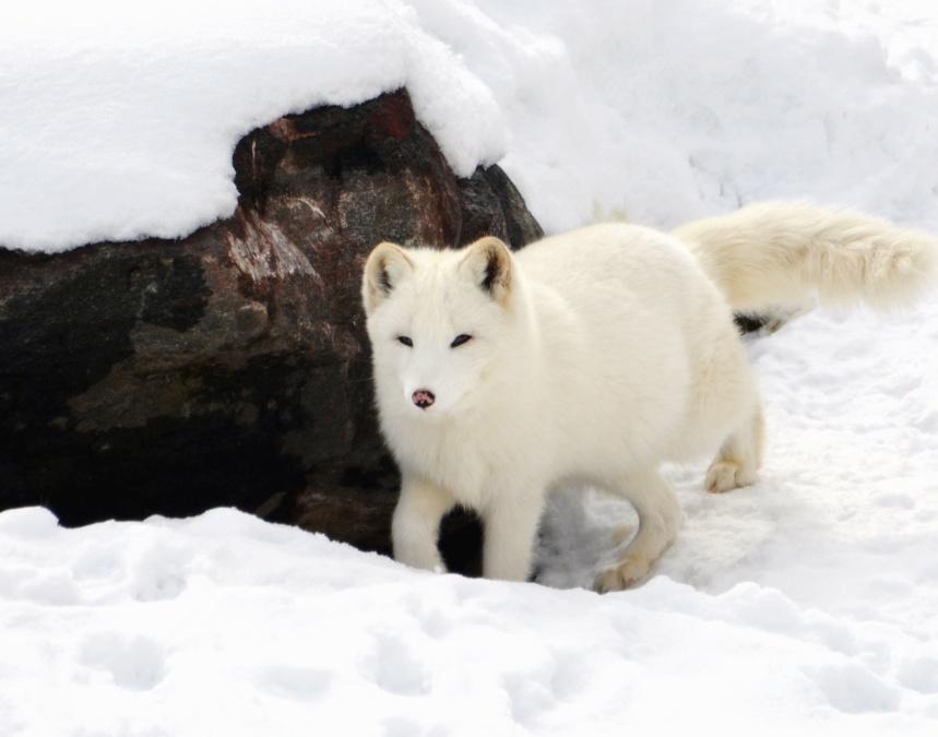 Hiver, animal, renard arctique, chasse, glace, renard, nature
