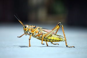 grasshopper, insect, animal