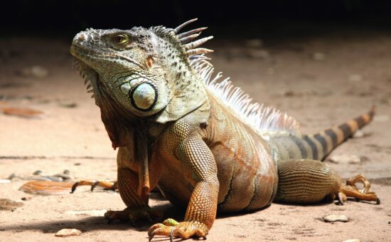 reptile, iguana, lizard, sand, wild, animal, exotic, focus, head