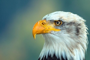 falcon, feathers, majestic, animal, avian, eagle, beak, bird