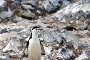 động vật, chim, chim cánh cụt, đá