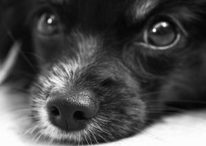 pas, kućni ljubimac, životinja, njuška, oči, glave