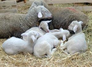 Oveja, lana, joven, animal, cordero, paja