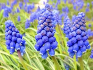Blume, hyazinthe, garten, frühling, natur, blütenblätter, stämme, garten, pflanze