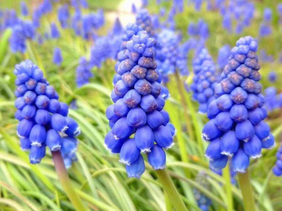 květina, hyacint, zahradu, jaro, příroda, okvětní lístky, stonky, zahradní, rostlina