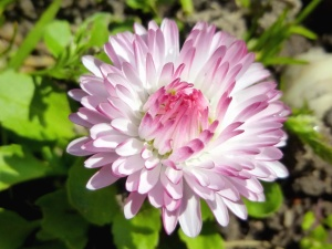 spring, nature, plant, flower, flowering, petals, daisy