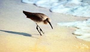 meri, lintu, aalto, hiekka, luonto, eläimet